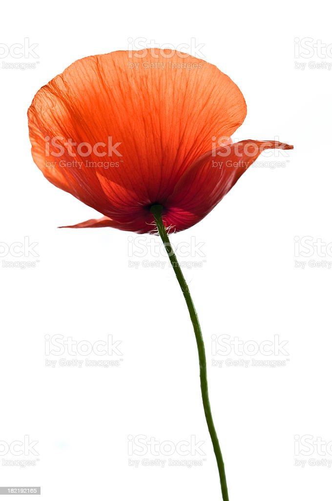 A single red flower on white background royalty-free stock photo