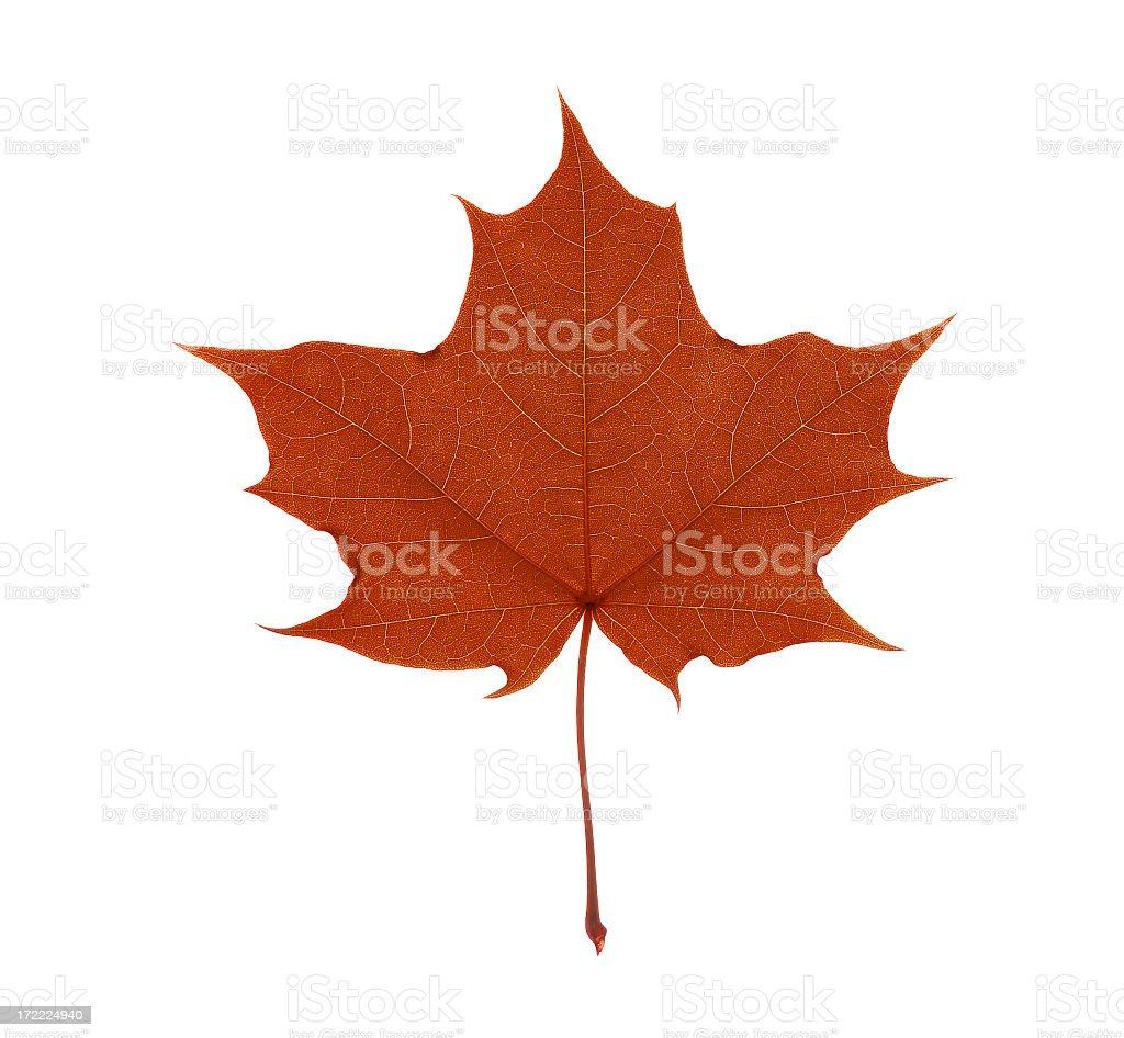 Single red maple leaf, isolated on white background, studio shot royalty-free stock photo