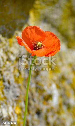 Red poppy is a symbol of remembrance