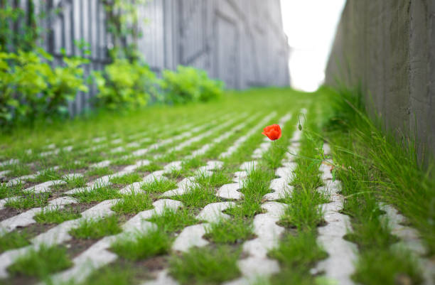 A single red poppy flower along a patterned walkway with grass growing between the stones stock photo