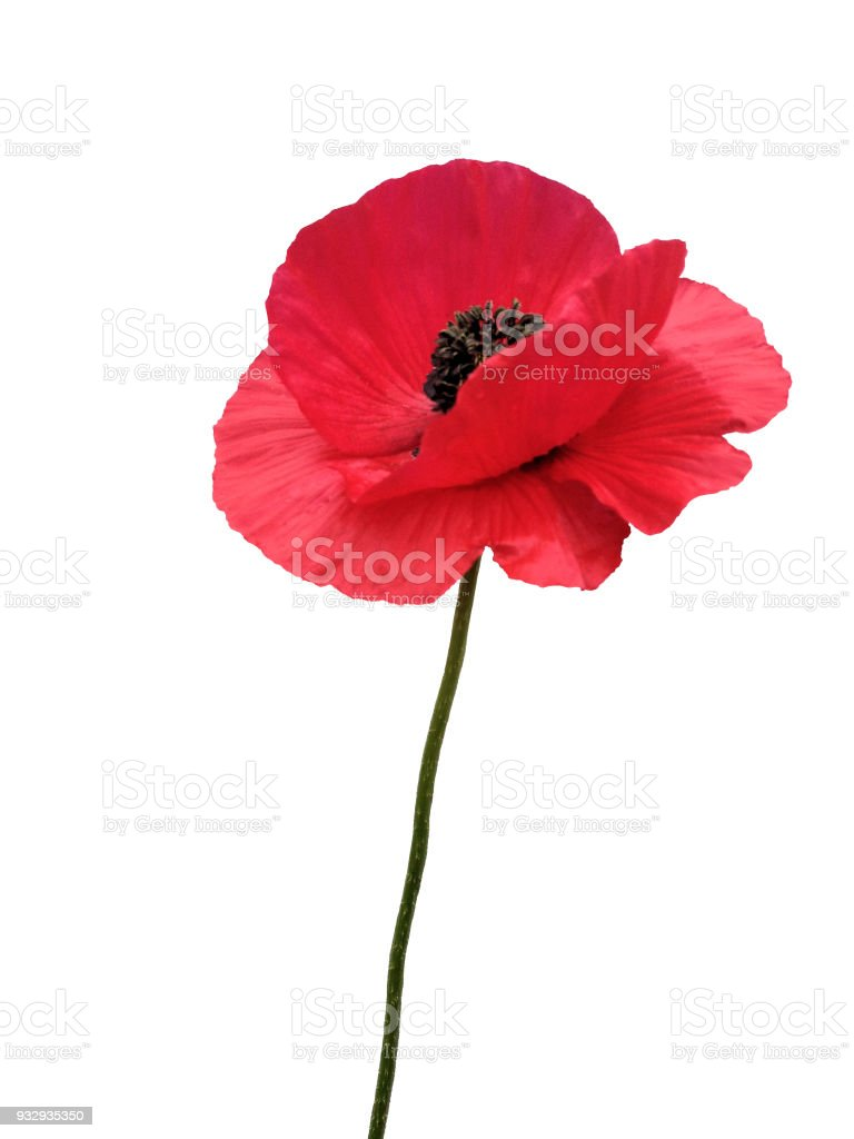 Single Red Poppy Flower Isolated Remembrance Day Memorial Stock