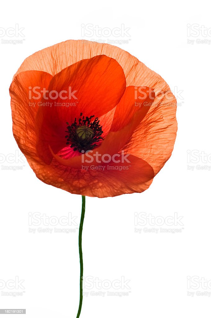 A single red poppy flower on a white background stock photo
