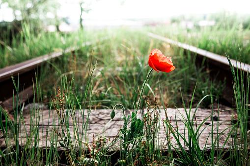 Single red poppy flower on overgrown railroad track