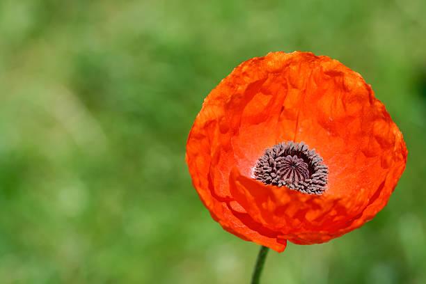 Sola flor amapola rojo - foto de stock