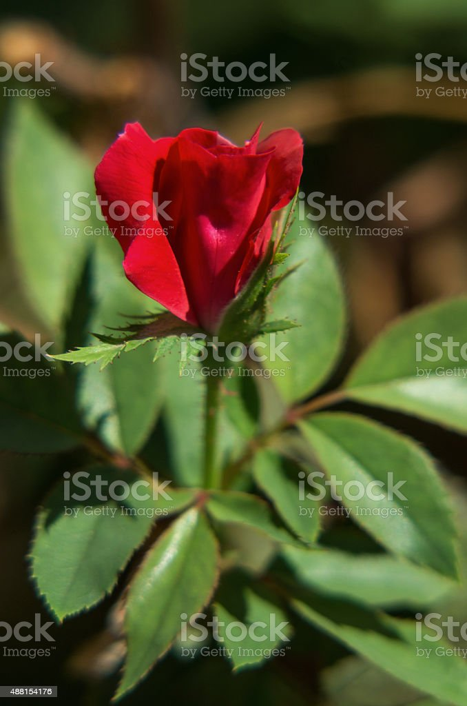 single red rose bud on plant royalty-free stock photo