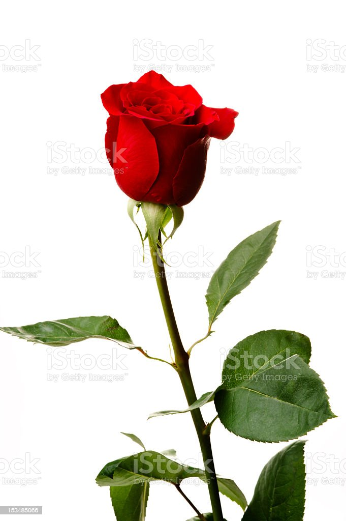 Single red rose, closeup shot, isolated on white background royalty-free stock photo