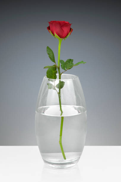Royalty Free Single Rose Vase Pictures Images And Stock Photos Istock