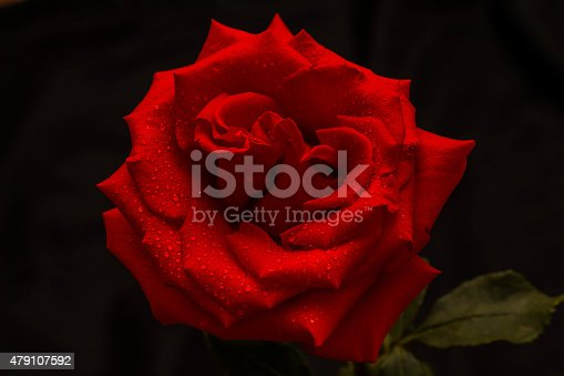 155139080istockphoto Single red rose is on a dark background 479107592