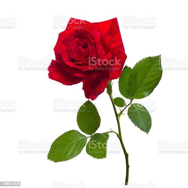 Single red rose isolated background picture id498370876?b=1&k=6&m=498370876&s=612x612&h=0wfrra22qzwmlkiystqeqclui3me5kspo4i19guhcbq=