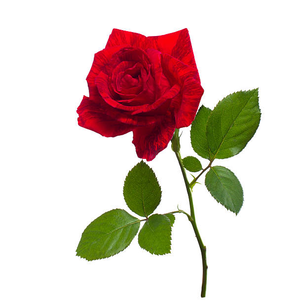 single red rose  isolated  background - enkele roos stockfoto's en -beelden