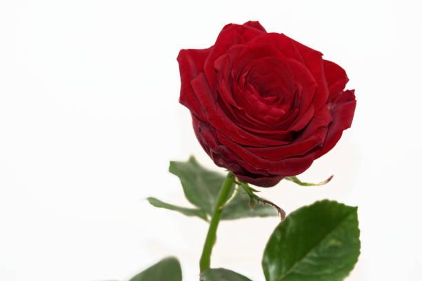 Single red rose isolated on white background stock photo