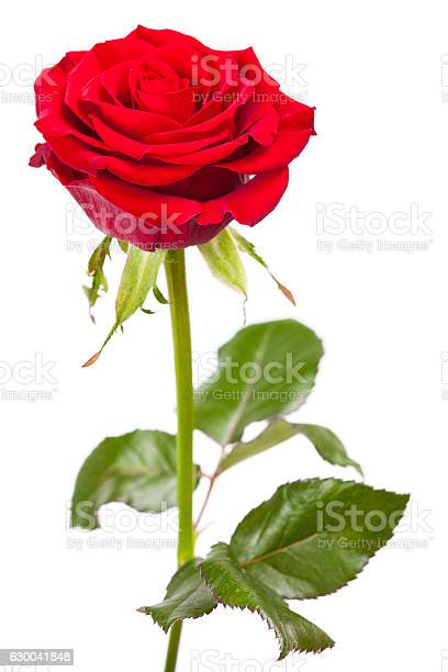 Single red rose isolated on white background picture id630041848?b=1&k=6&m=630041848&s=612x612&h=ieehiy5f uf5hbfrdhtuplu53 heuuvoqitqvpgx7yg=