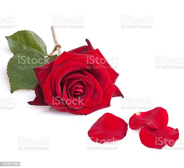 Single red rose isolated on white picture id157527092?b=1&k=6&m=157527092&s=612x612&h=mhzqo9hjzj40zubdbs4fw  h1jiog87gxb zodukdvs=
