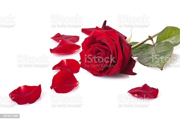 Single red rose isolated on white picture id157527097?b=1&k=6&m=157527097&s=612x612&h=dtoo gzucyafqyaovvsf4h28dm7eyla3oickabpgags=
