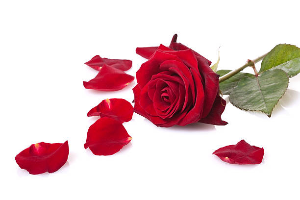 Single red rose isolated on white picture id157527097?b=1&k=6&m=157527097&s=612x612&w=0&h=netfzbbeucypr5gpzdd83rdrwi yks4 krr6iavvdug=
