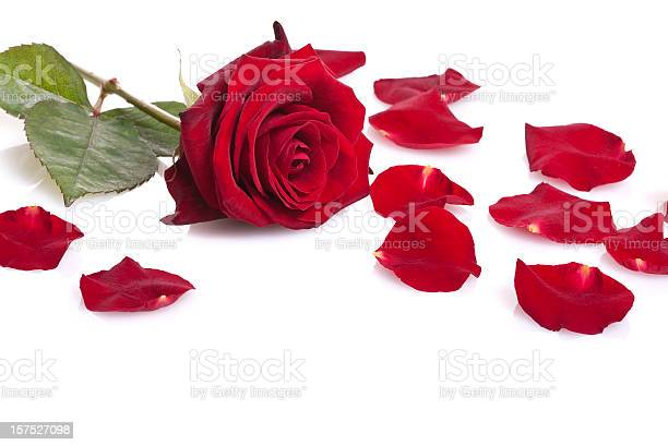Single red rose isolated on white picture id157527098?b=1&k=6&m=157527098&s=612x612&h=wgvw3ppxkxxyubr8w mraif oownneu6dkev2hbzxk8=