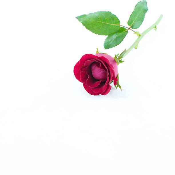 Single red rose isolated on white picture id494853693?b=1&k=6&m=494853693&s=612x612&w=0&h=pms a17bicscnzwrayhvaecq9jwl3dgwebo2f1vajou=