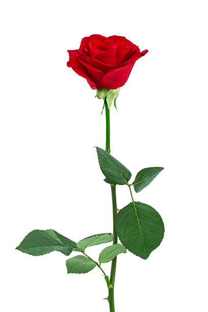 Single red rose isolated picture id486832234?b=1&k=6&m=486832234&s=612x612&w=0&h=pmdmiwsvpv6s6v 9prvce56hlqia7dmjkcul89clcju=