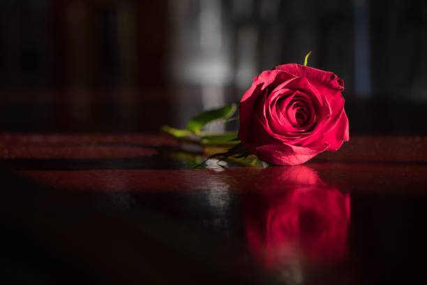 Single Red Rose Flower Stock Images: Best Single Rose Stock Photos, Pictures & Royalty-Free