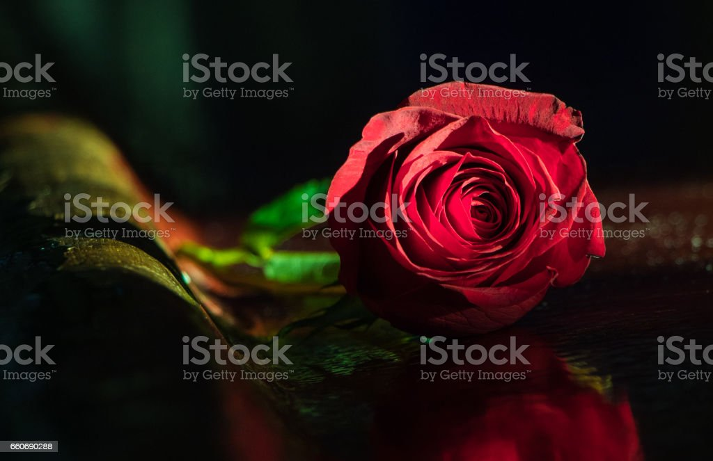 Single red rose lying on a polished wooden surface stock photo