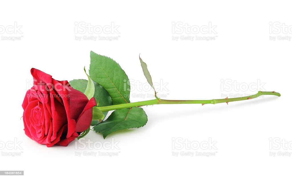 A single red rose on a white background royalty-free stock photo