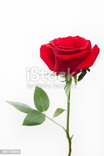 Rose - Flower, Single Rose, Flower, Single Flower, Petal