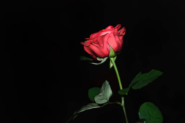 Single red rose on black background stock photo