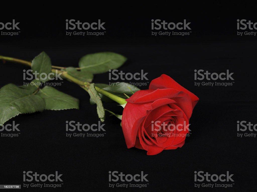 Singola Rosa Rossa Su Sfondo Nero Fotografie Stock E Altre