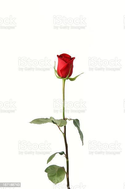 Single red rose on white background picture id157188743?b=1&k=6&m=157188743&s=612x612&h=qumhvrzykpj5awwtnezprtif0tsckcuosvidwzcyhkw=