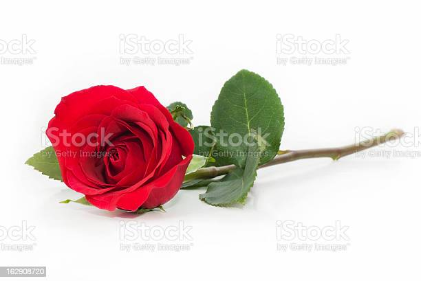 Single red rose on white background picture id162908720?b=1&k=6&m=162908720&s=612x612&h=5hhnyo87n6 w71mhanqrx dyzf89sosbzqlxhcu2hzg=