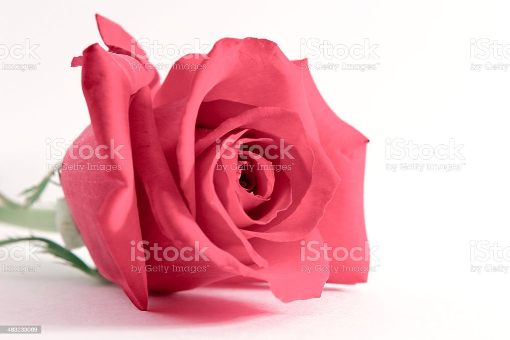 Single red rose on white royalty-free stock photo