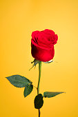 A portrait of a beautiful red rose on a yellow background.