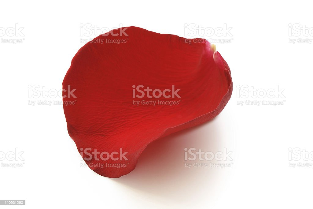 Single red rose petal on white background stock photo