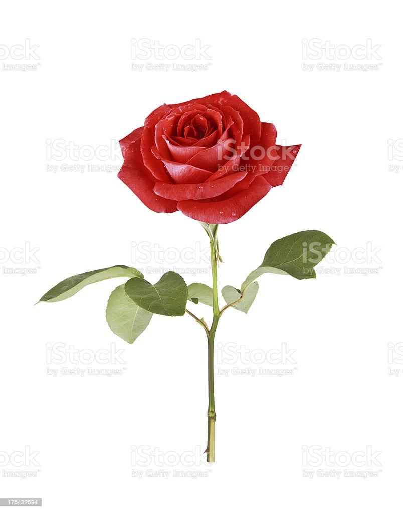 single red rose royalty-free stock photo