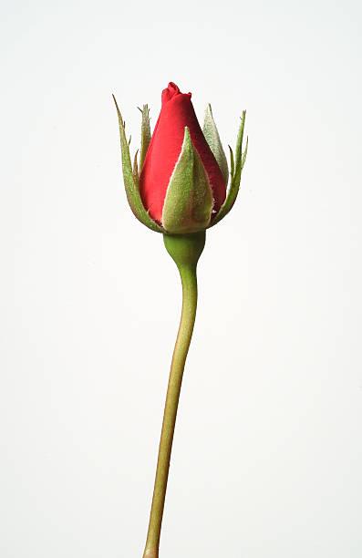 Une seule rose rouge - Photo