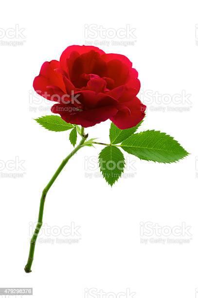 Single red rose picture id479298376?b=1&k=6&m=479298376&s=612x612&h=mro3tykstcylapxtfqldhnysmu74zsuzzvbqptgxv6q=