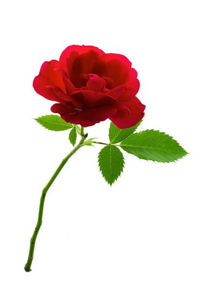 Single red rose picture id479298376?b=1&k=6&m=479298376&s=612x612&w=0&h=xbneiddch csefot6w4d0wdzau92 gatuhefnsqskuu=