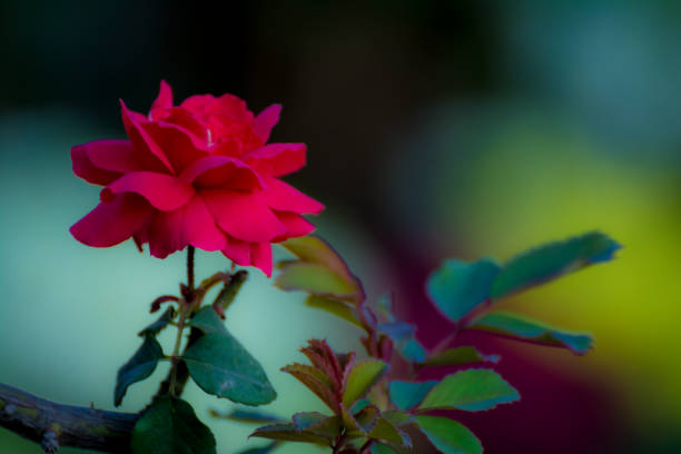 Single red rose picture id925135390?b=1&k=6&m=925135390&s=612x612&w=0&h=hv0umcb3ze834143gewn4julzv3ibbpn3 54kfq4r3m=