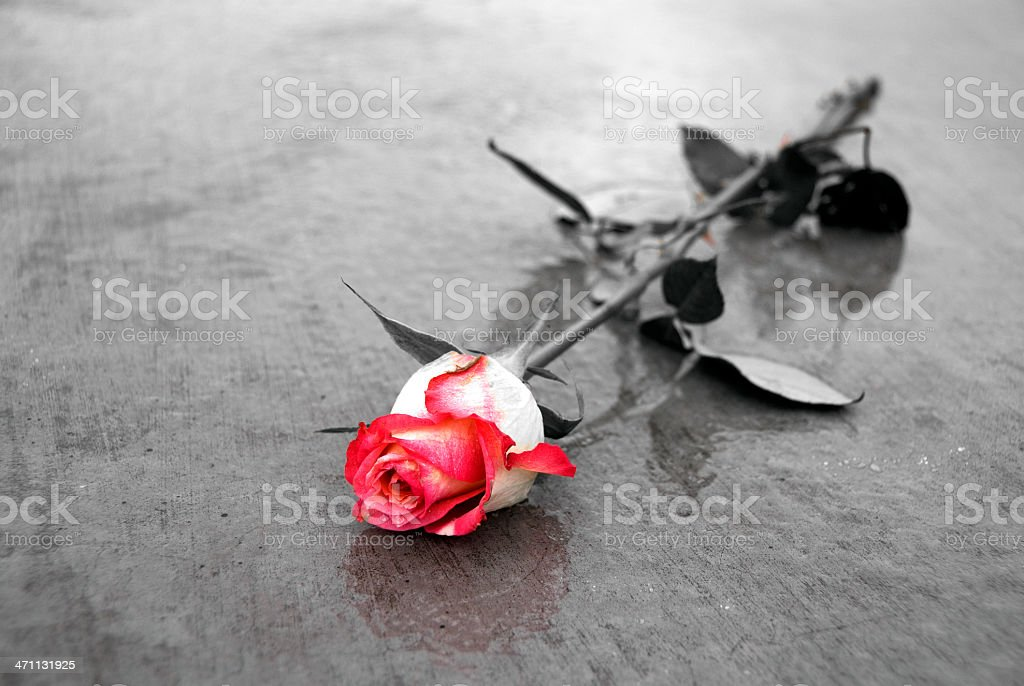 Single red rose with selective color stock photo