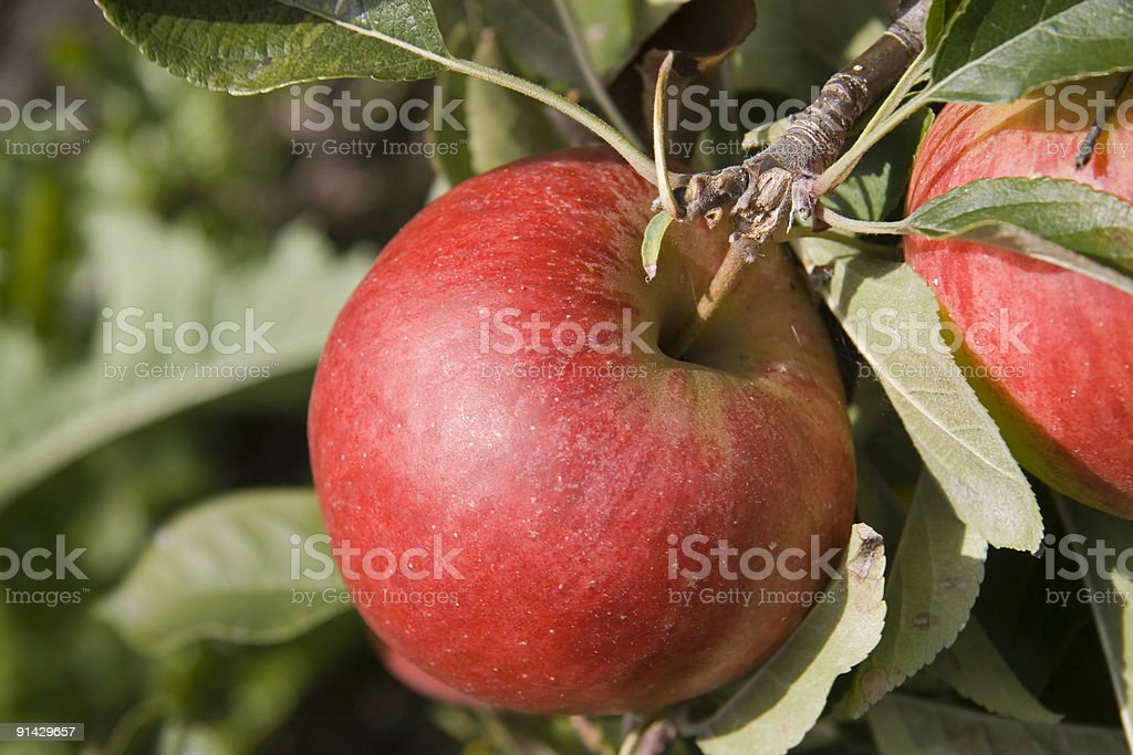 Single red shiny apple on tree in orchard royalty-free stock photo