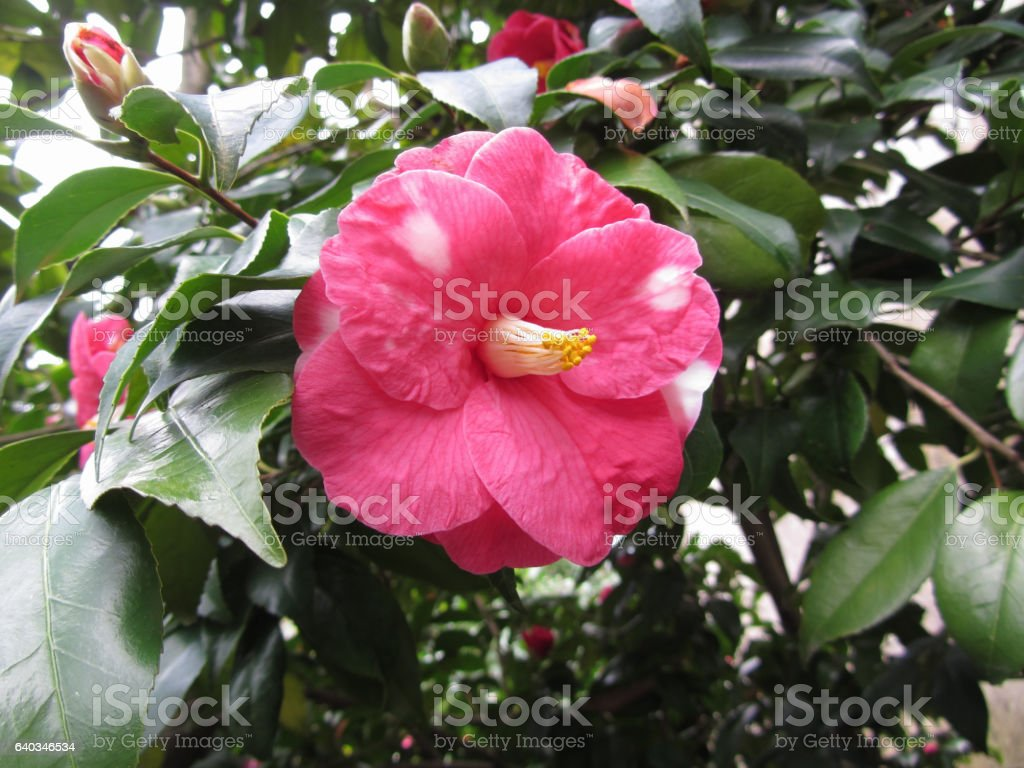 Single red spotted white flower of Camellia japonica Marmorata stock photo