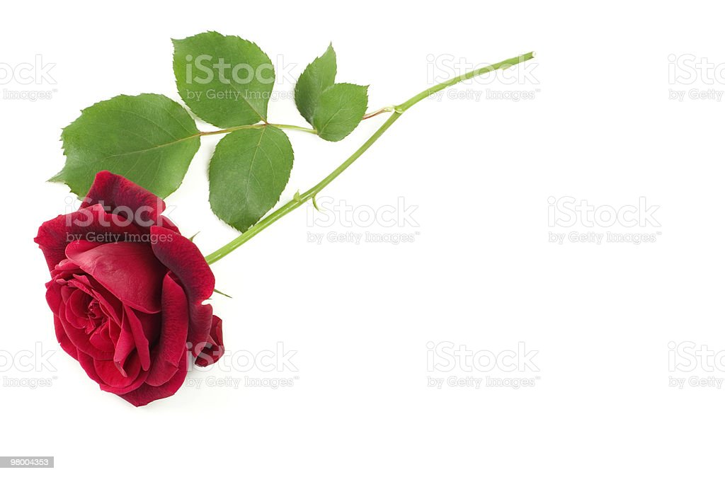 Single Red Stem Rose White Background royalty-free stock photo