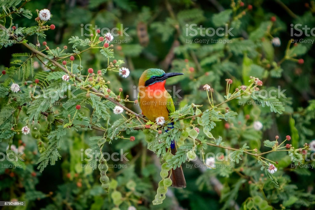 A single red throat bee eaters sitting on a branch stock photo
