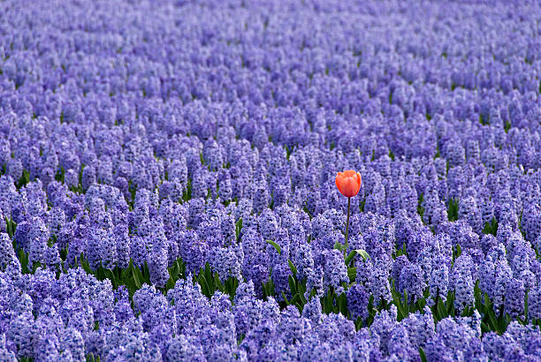 Single red tulip in a Field of Blue Hyacinths