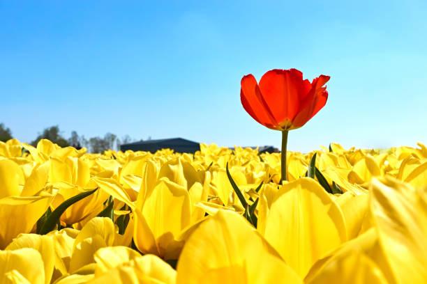 eine rote tulpe in einem feld mit gelben tulpen - individualität stock-fotos und bilder