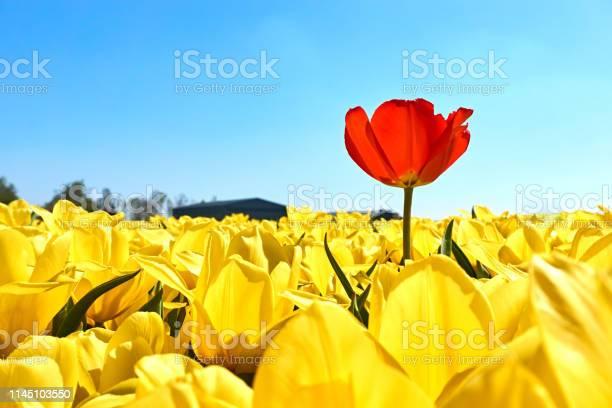 Photo libre de droit de Une Tulipe Rouge Unique Dans Un Champ Avec Des Tulipes Jaunes banque d'images et plus d'images libres de droit de Abstrait