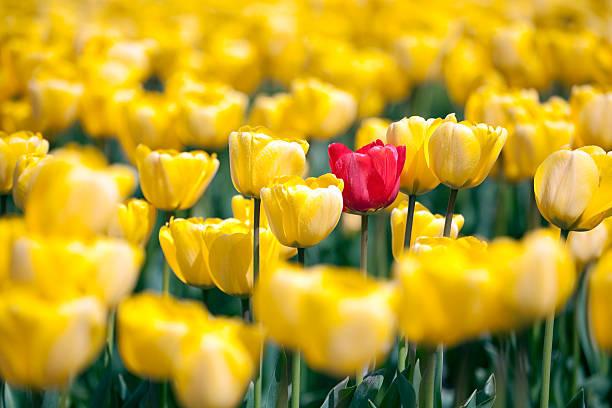 tulipa vermelha em matéria de amarela - standing out from the crowd (expressão inglesa) - fotografias e filmes do acervo