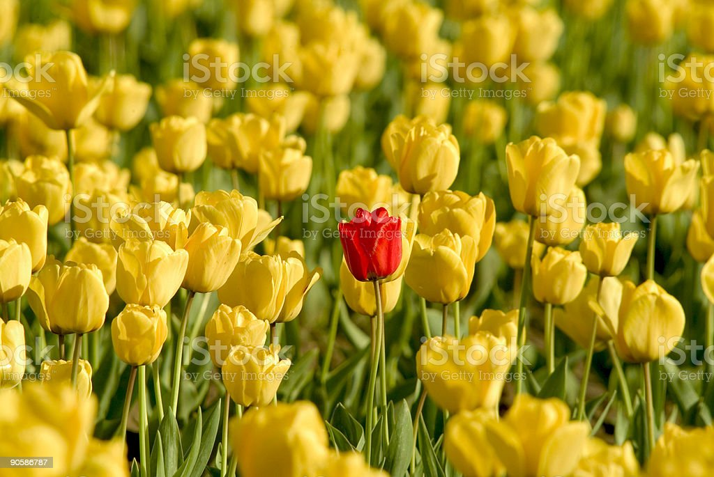 Single red tulip in field of yellow royalty-free stock photo