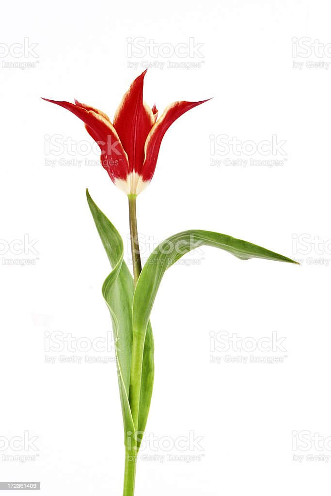 single red tulip royalty-free stock photo