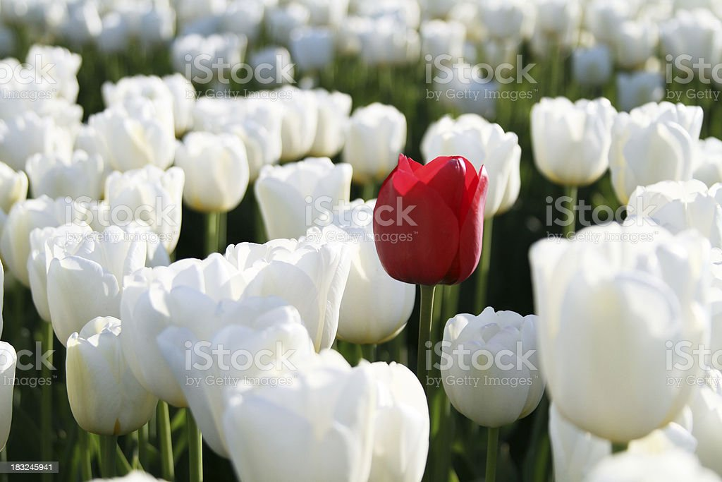single red tulip stock photo